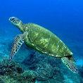 Черепаха зеленая или Green turtle