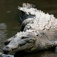 Американский крокодил (American crocodile)