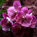 Орхидеи в Коста-Рике