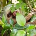 Ленивец в заповеднике «Arenal Mundo Aventura»