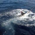 Черный Марлин при вываживании съеден акулой