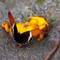 Бабочка на манго