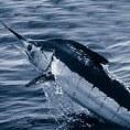 Лучшая морская рыбалка - марлин