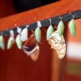 Рождение бабочки Морфо