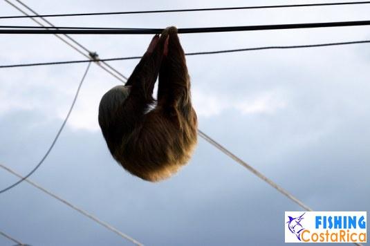 Ленивец на проводах